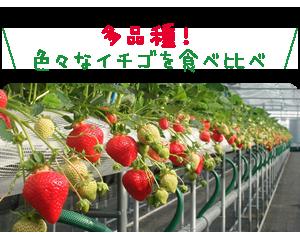 多品種!色々なイチゴを食べ比べ
