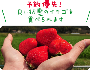 予約優先!良い状態のイチゴを食べられます